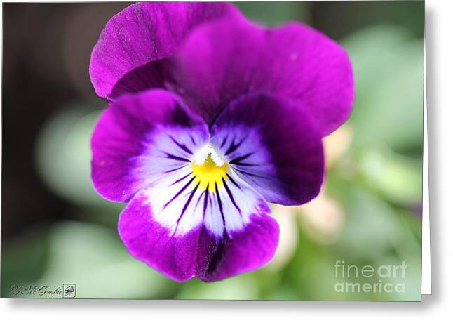Viola Named Sorbet Plum Velvet Jump-up Greeting Card