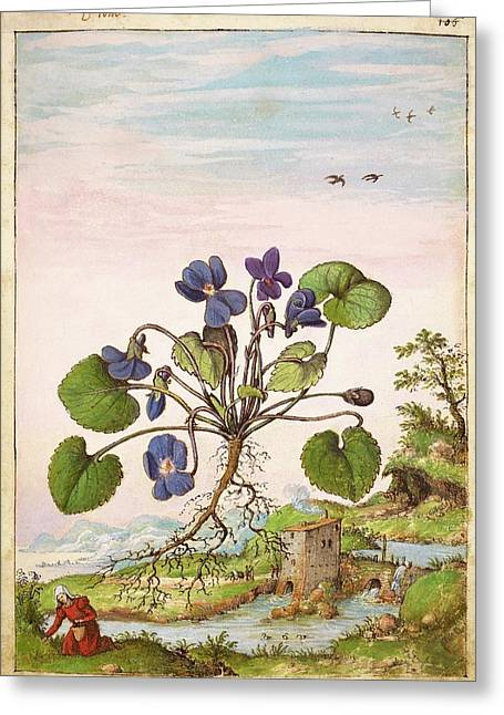 Violet (viola Odorata) Greeting Card by British Library