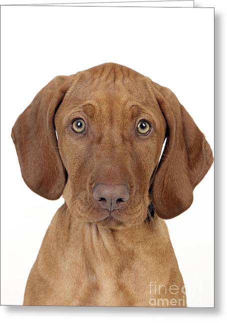 Vizsla Puppy Dog Greeting Card