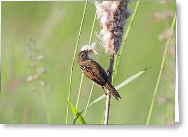 Wa, Juanita Bay Wetland, Marsh Wren Greeting Card