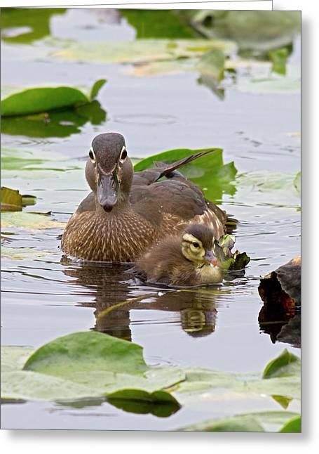 Wa, Juanita Bay Wetland, Wood Ducks Greeting Card