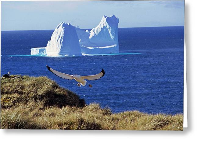 Wandering Albatross (diomendea Exulans Greeting Card