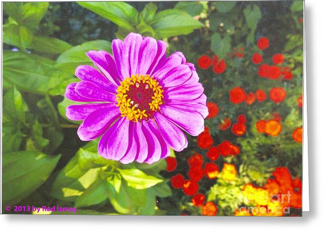 Warm Pink Zinnia Greeting Card by Rod Ismay