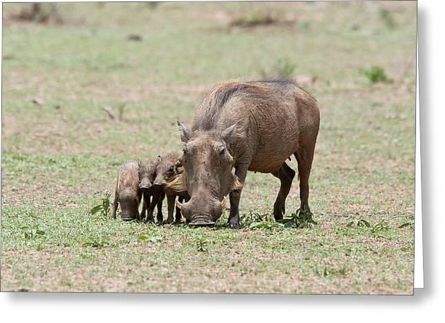Warthog And Young Greeting Card by Bob Gibbons