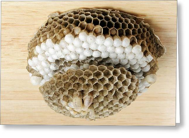 Wasp Nest Greeting Card by Cordelia Molloy