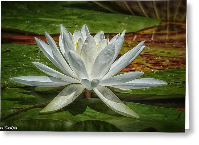 Water Lily Greeting Card by Heather Kertzer