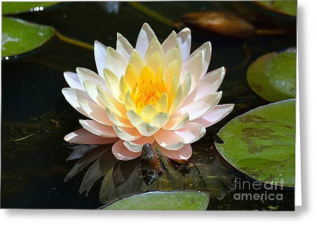 Water Lily Greeting Card by Lisa L Silva