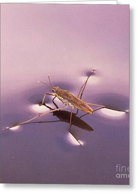 Water Strider Greeting Card by Hermann Eisenbeiss