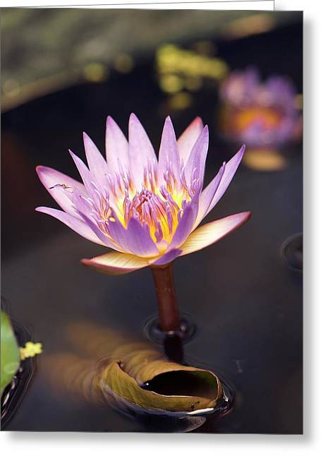 Waterlily (nymphaea Capensis) Flower Greeting Card by Adrian Thomas