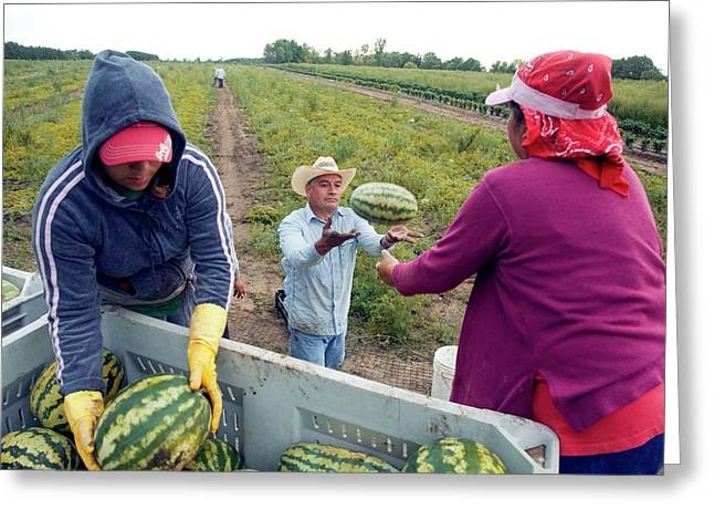 Watermelon Harvest Greeting Card by Jim West