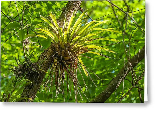 West Indian Tufted Airplants Greeting Card by Rich Leighton