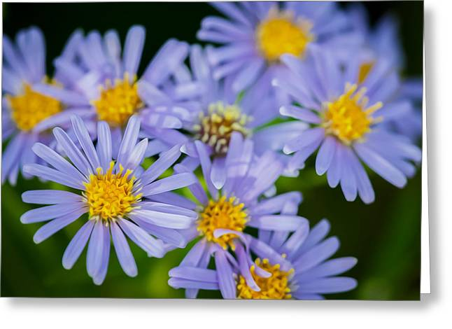 Western Daisies Asters Glacier National Park  Greeting Card by Rich Franco