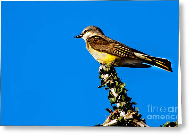 Western Kingbird Greeting Card by Robert Bales