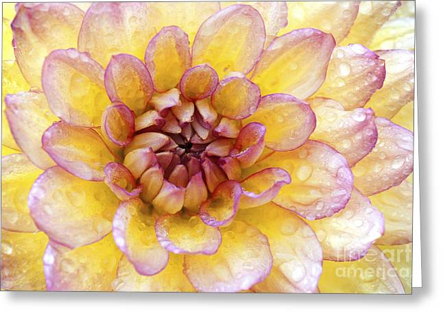 Wet Dahlia Greeting Card by Paul W Faust -  Impressions of Light