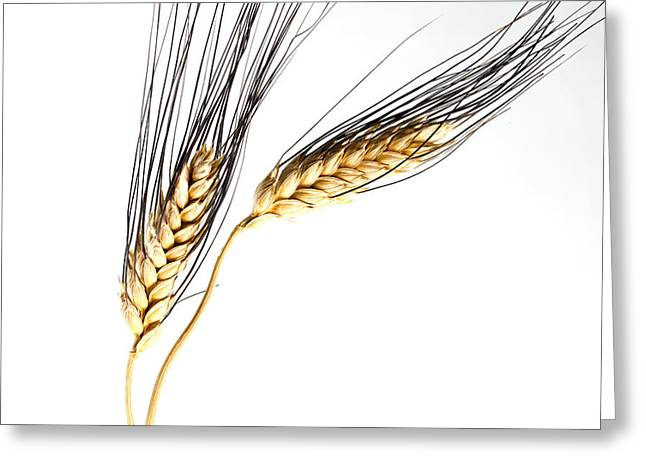 Wheat On White Greeting Card