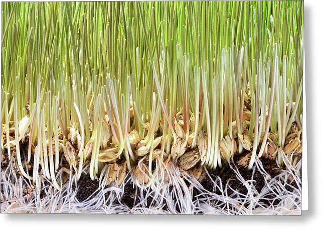 Wheatgrass Seedling Greeting Card by Cordelia Molloy