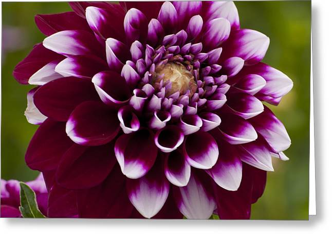 White And Purple Dahlia Greeting Card by Mandy Judson