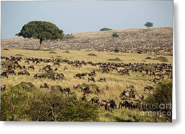 White-bearded Wildebeest Migration Greeting Card by Greg Dimijian