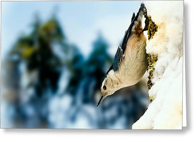White Breasted Nuthatch In The Snow Greeting Card by Bob Orsillo