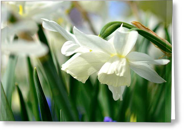 White Daffodil  Greeting Card by Tommytechno Sweden