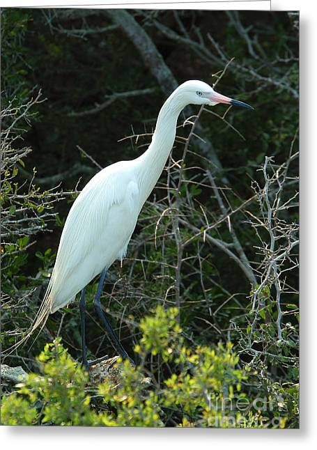 White Morph Of Reddish Egret Greeting Card by Gregory G. Dimijian