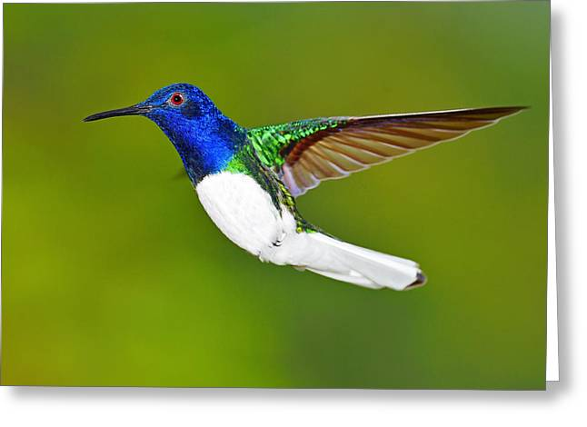 White-necked Jacobin Greeting Card by Tony Beck