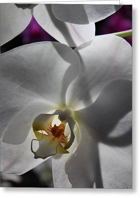 White Orchid Four Greeting Card by Mark Steven Burhart
