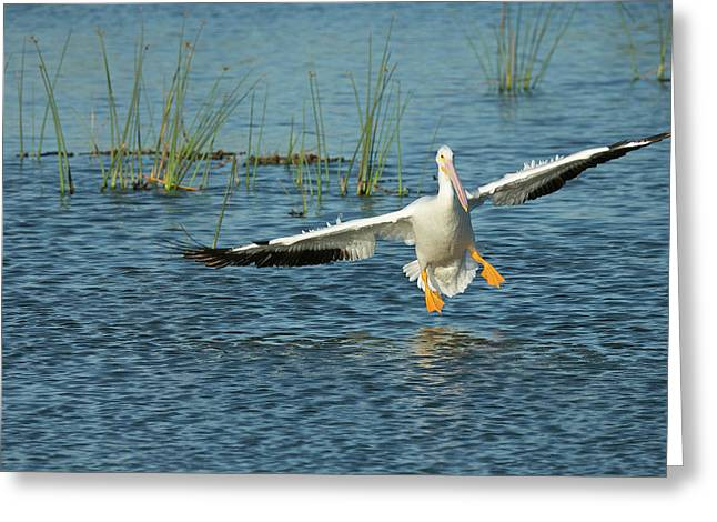 White Pelican Landing, Pelecanus Greeting Card by Maresa Pryor