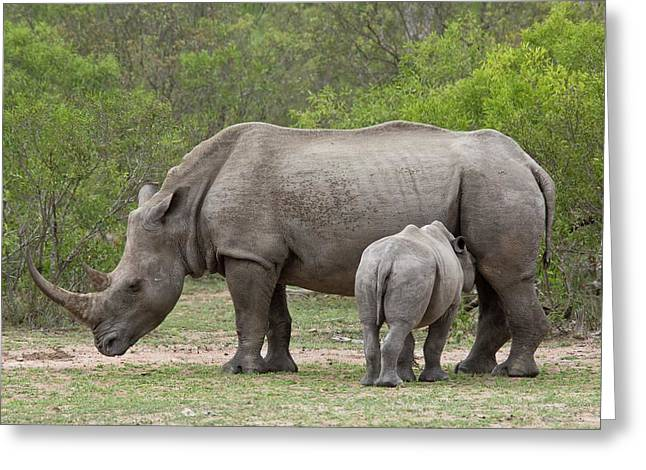White Rhino And Calf Greeting Card