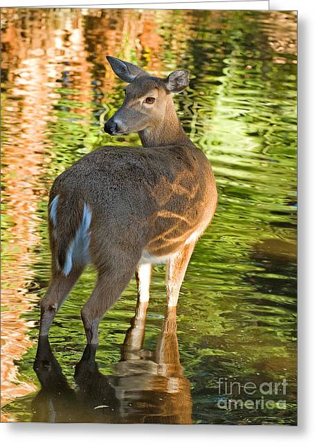 White Tailed Deer Greeting Card by Millard H. Sharp