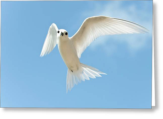 White Tern (gygis Alba Rothschildi Greeting Card