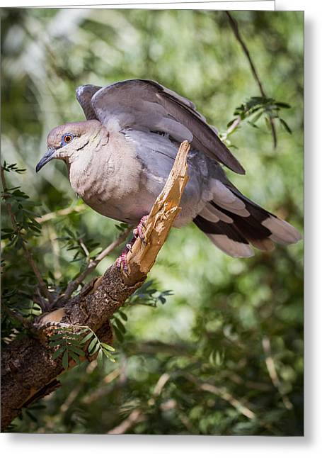 Greeting Card featuring the photograph White-winged Dove by Beverly Parks