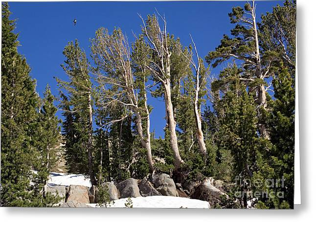 Whitebark Pine Pinus Albicaulis Greeting Card by Bob Gibbons
