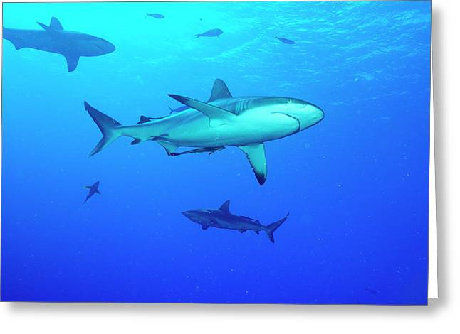 Whitetip Reef Sharks Over A Reef Greeting Card by Louise Murray