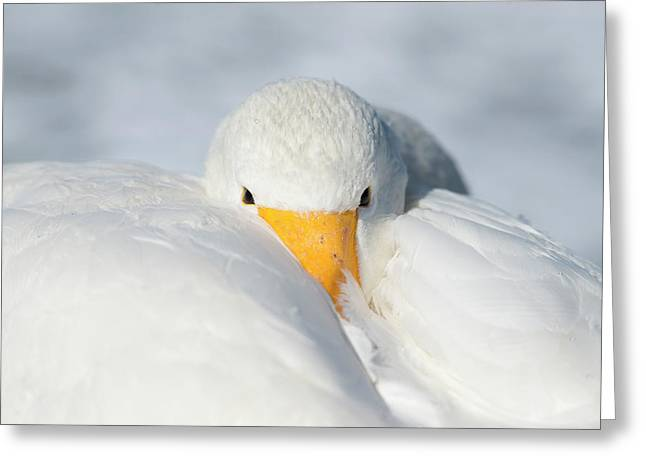 Whooper Swan Resting Greeting Card