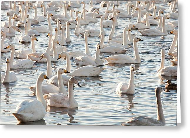 Whooper Swans Greeting Card