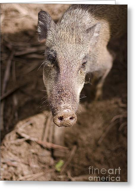 Wild Boar Greeting Card by Jorgo Photography - Wall Art Gallery