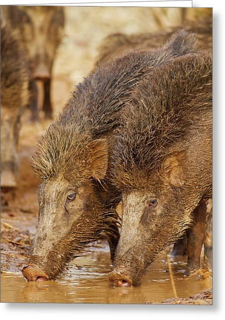 Wild Boar, Tadoba Andheri Tiger Reserve Greeting Card