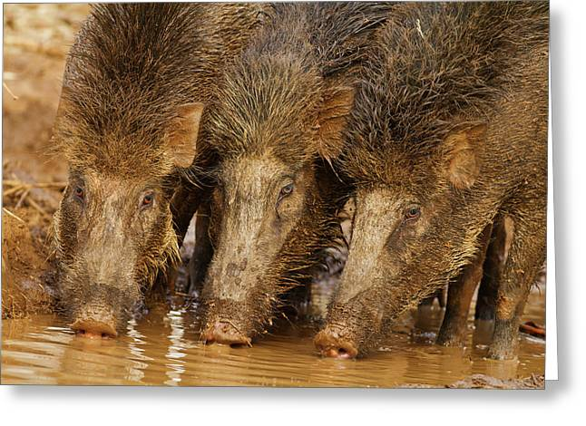 Wild Boars Drinking Water Greeting Card by Jagdeep Rajput