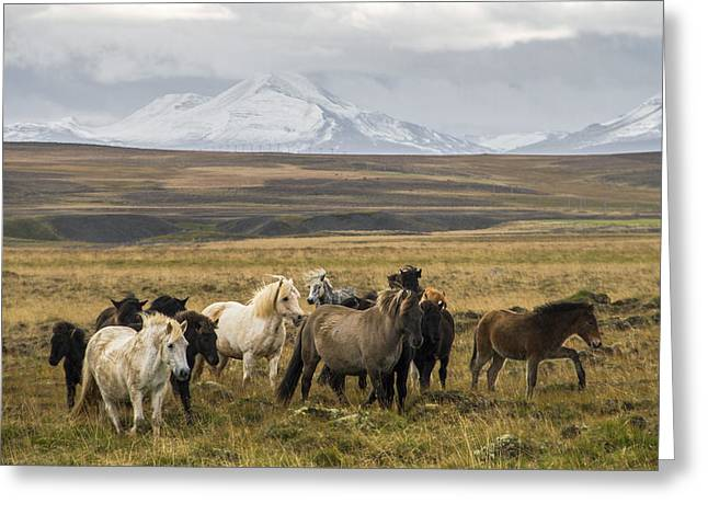 Wild Icelandic Horses Greeting Card