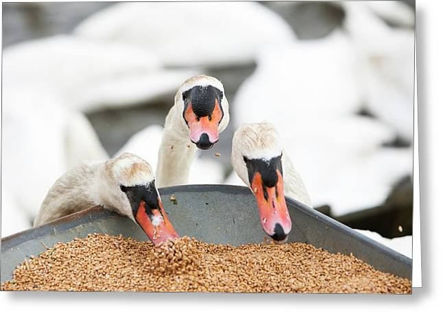 Wild Mute Swans Pinching Grain Greeting Card by Ashley Cooper