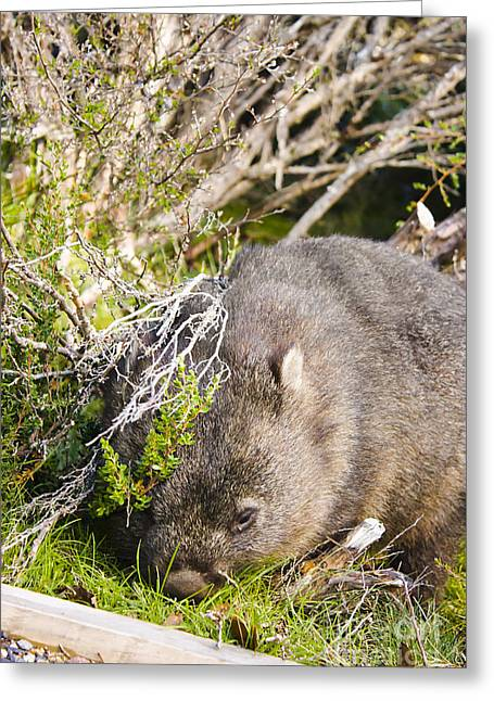 Wildlife Wombat At Lake St Clair National Park  Greeting Card by Jorgo Photography - Wall Art Gallery