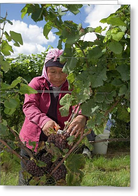 Wine Grape Harvest Greeting Card by Jim West