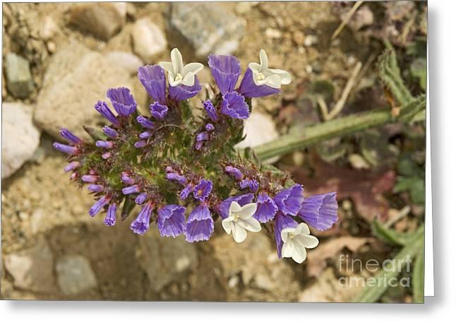 Winged Sea Lavender Limonium Sinuatum Greeting Card by Bob Gibbons