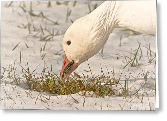 Wintering Snow Goose Greeting Card by Robert Frederick