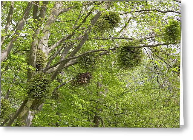 Witches' Brooms On Carpinus Betulus Greeting Card by Dr Jeremy Burgess