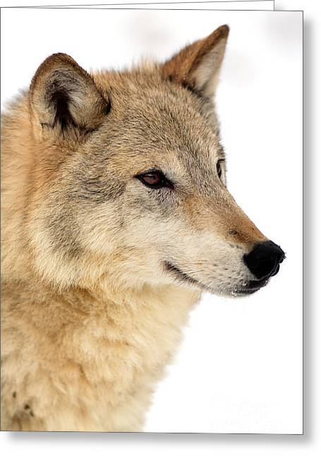 Wolf In Winter Greeting Card by Sohns/Okapia