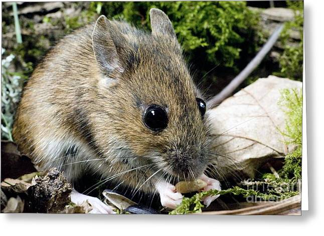 Wood Mouse Feeding Greeting Card