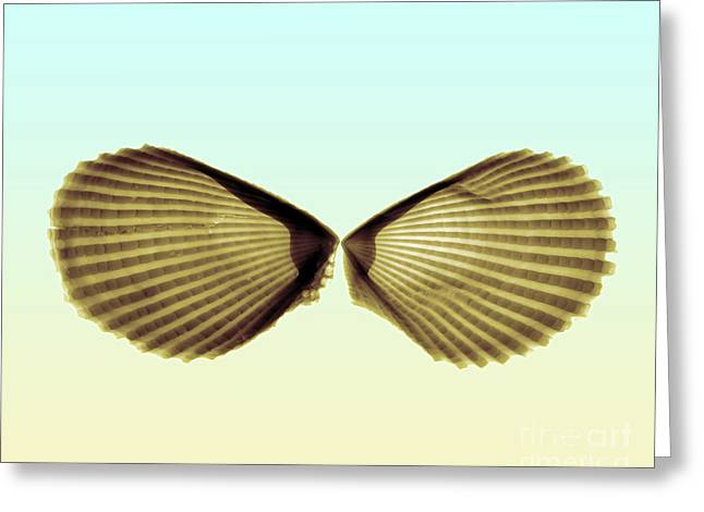 X-ray Of Angel Wing Shells Greeting Card by Bert Myers