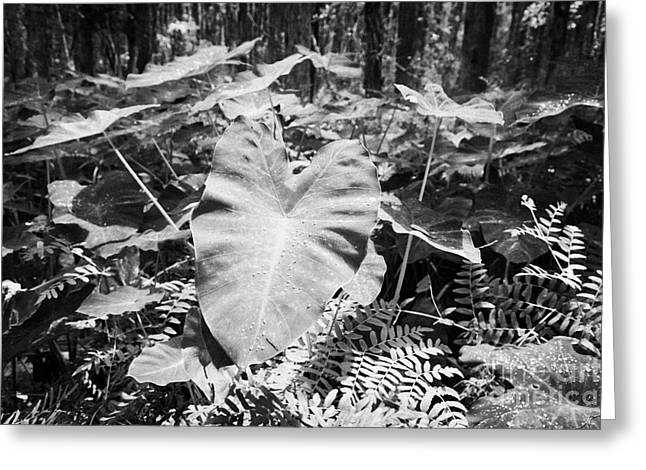 Xanthsoma Elephant Ear Plant Growing In Flooded Wetlands In Florida Usa Greeting Card by Joe Fox